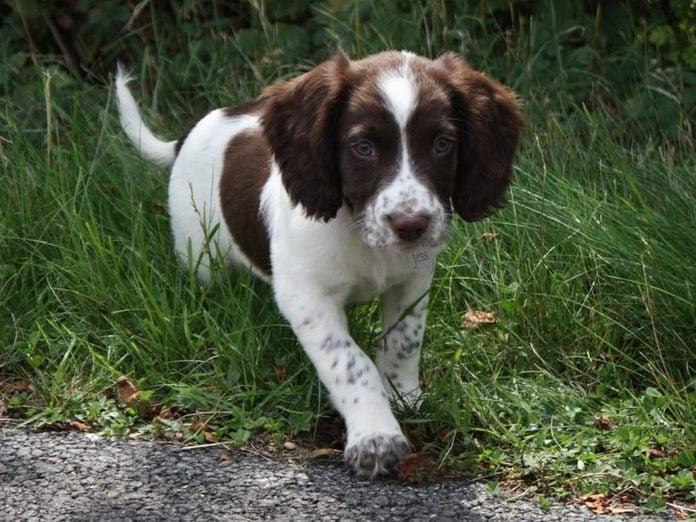 Le Springer anglais est l'une des races de chiens dont les chiots sont les plus mignons!