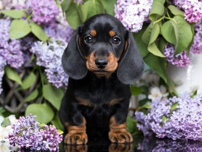 Le Teckel est l'une des races de chiens dont les chiots sont les plus mignons!