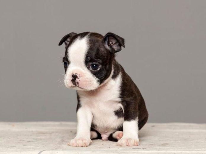 Le Terrier de Boston est l'une des races de chiens dont les chiots sont les plus mignons!