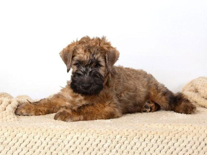 Le Terrier irlandais à poil doux est l'une des races de chiens dont les chiots sont les plus mignons!
