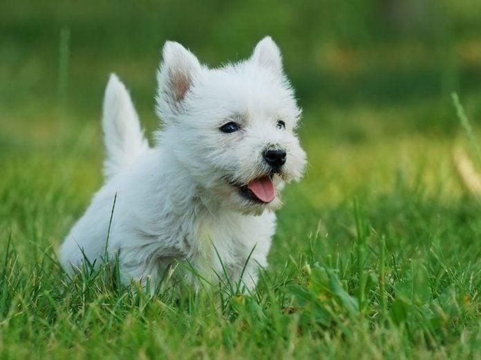 Le West Highland white terrier est l'une des races de chiens dont les chiots sont les plus mignons!
