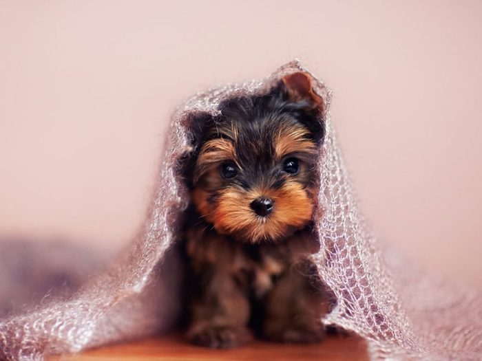 Le Terrier du Yorkshire est l'une des races de chiens dont les chiots sont les plus mignons!
