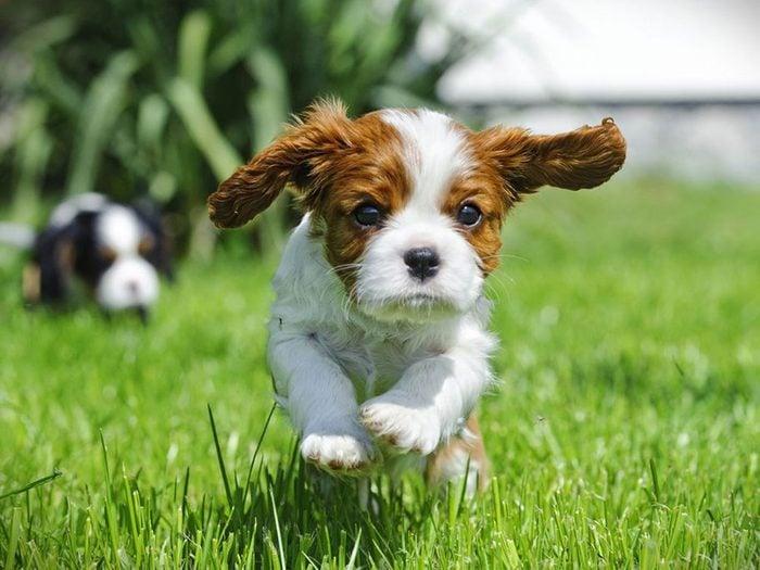 L'Épagneul Cavalier King Charles est l'une des races de chiens dont les chiots sont les plus mignons!