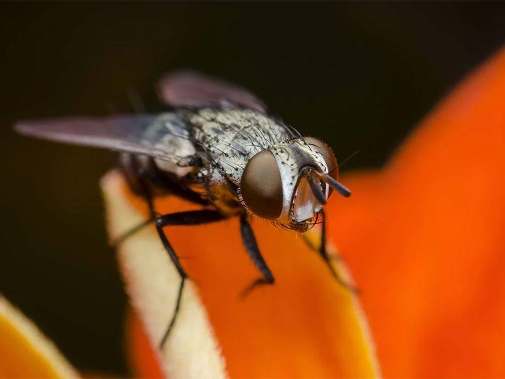 Utiliser l'alcool isopropylique pour se débarrasser des mouches à fruits.