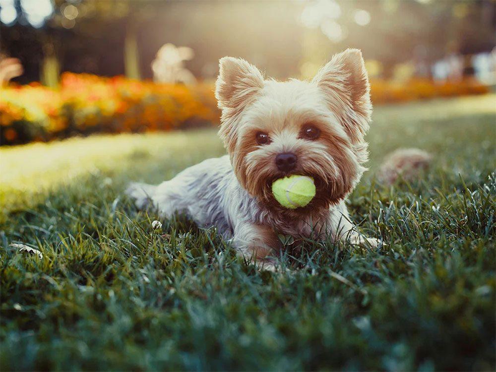 Utiliser l'alcool isopropylique pour retirer les tiques du chien.