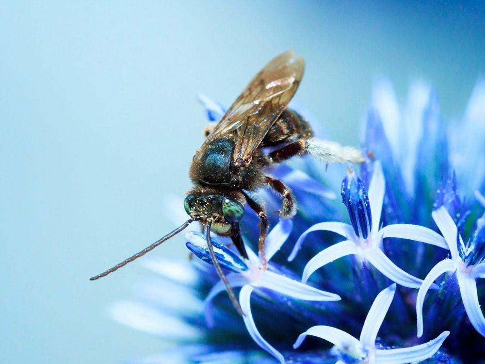 Bonne nouvelle: l'abeille bleue n'est plus en voie de disparition.