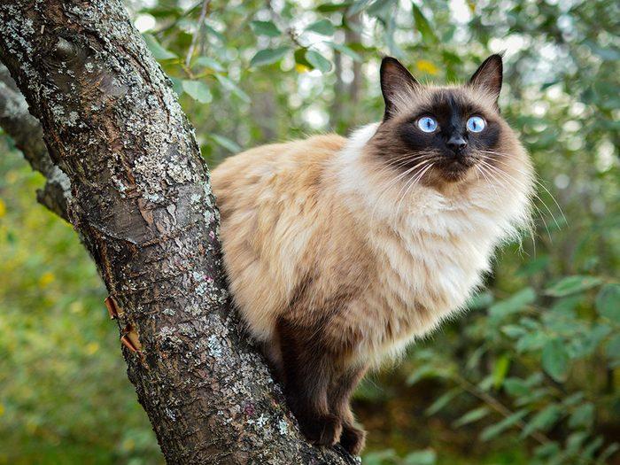 Le Balinais est l'un des chats hypoallergéniques.