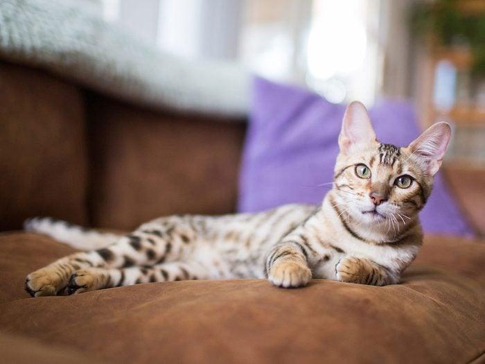 Le Bengal est l'un des chats hypoallergéniques.