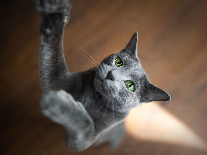 Le Bleu russe est l'un des chats hypoallergéniques.