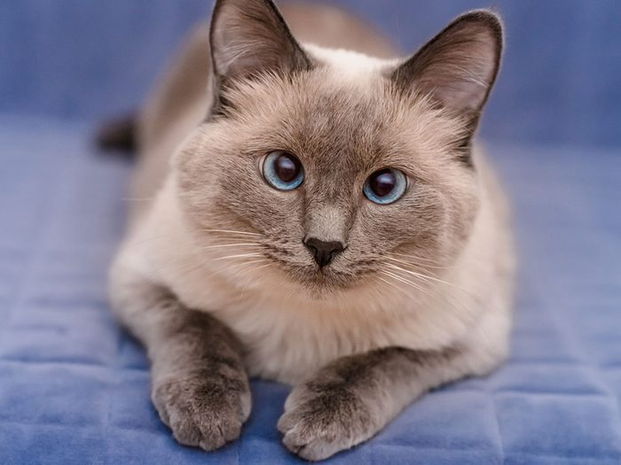 Le Colorpoint Shorthair est l'un des chats hypoallergéniques.