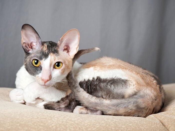 Le Cornish Rex est l'un des chats hypoallergéniques.