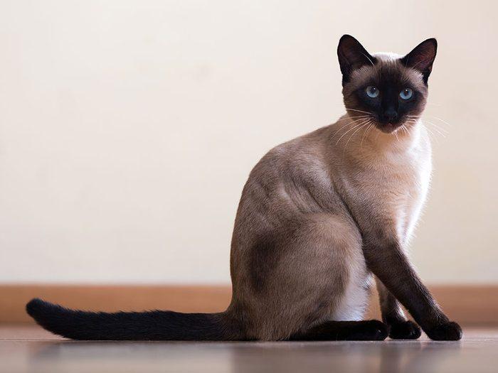 Le Siamois est l'un des chats hypoallergéniques.