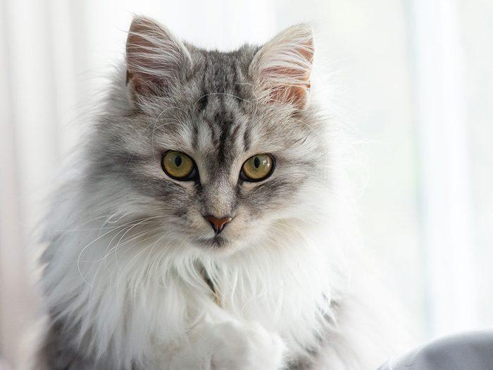 Le Sibérien est l'un des chats hypoallergéniques.