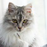 8 races de chats hypoallergéniques pour les personnes allergiques