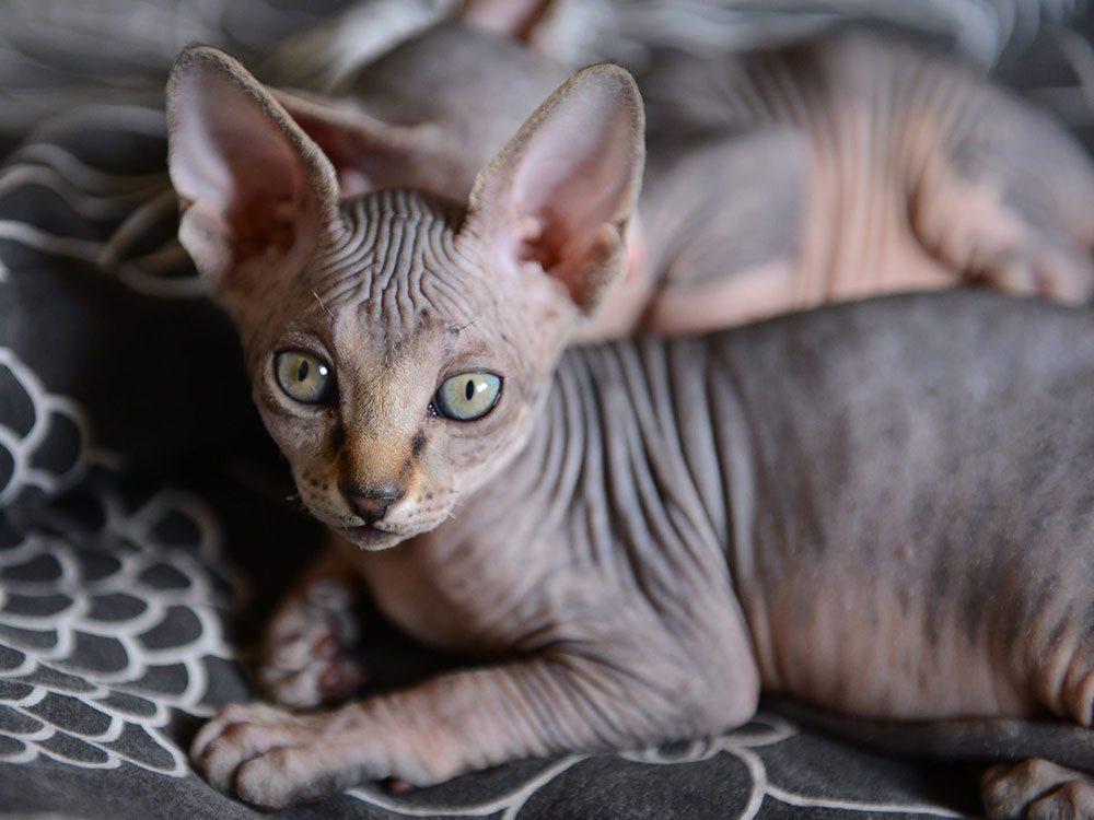 Le Sphynx est l'un des chats hypoallergéniques.
