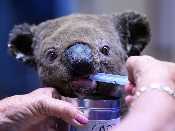 Incendies en Australie: des milliards d'animaux sont morts.
