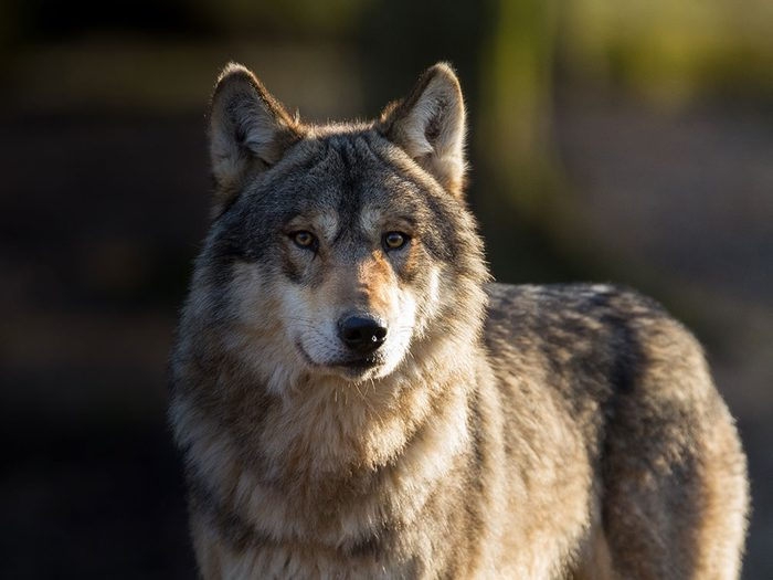 J'ai retrouvé ce loup gris, quatre ans plus tard.