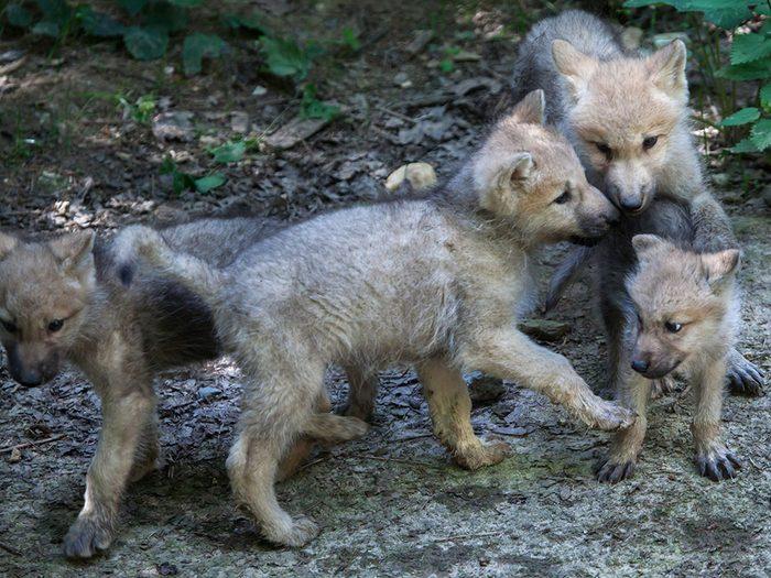 Loup gris: à la recherche des louveteaux.