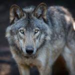 L'histoire d'une amitié entre un loup gris et son sauveur