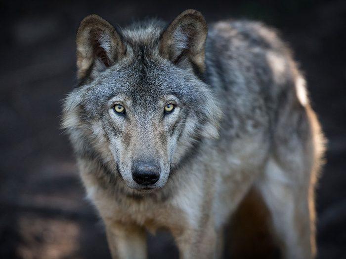 Que faire pour libérer ce loup gris?