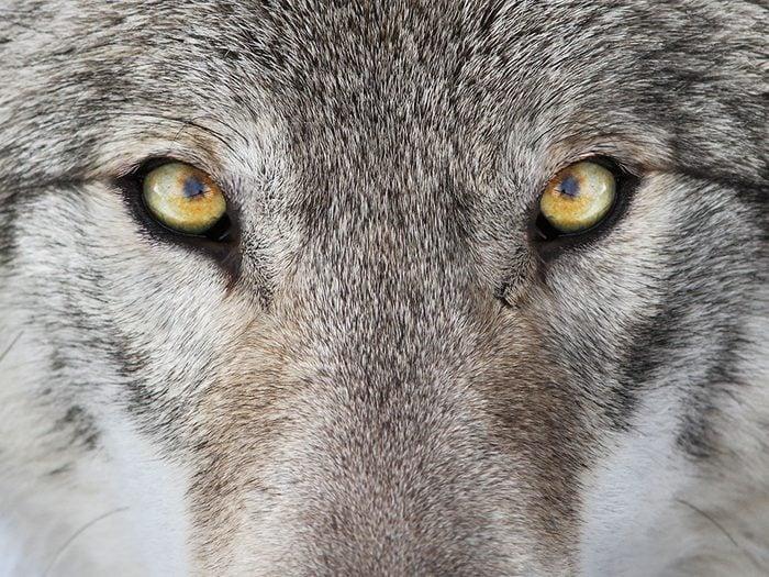 Ma rencontre avec le loup gris.