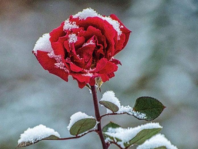 La beauté de l'hiver canadien à travers cette image d'une rose enneigée.
