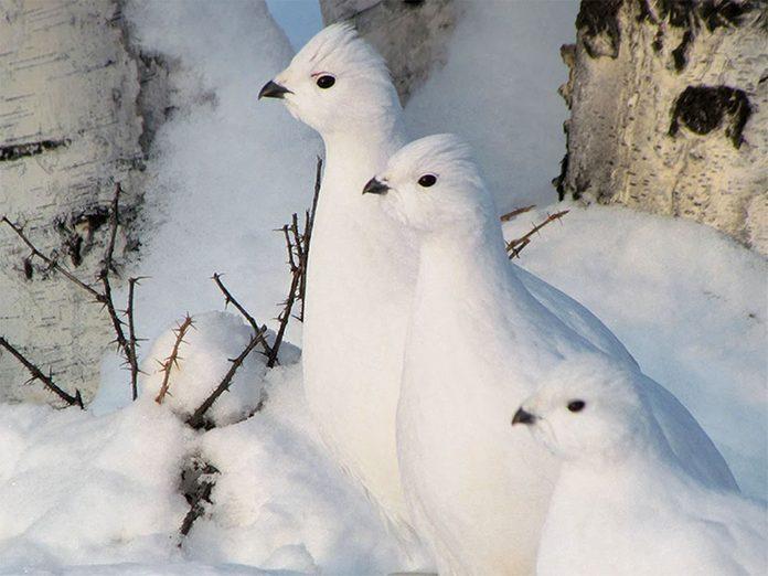 La beauté de l'hiver canadien à travers cette image de ptarmigans à Yellowknife.