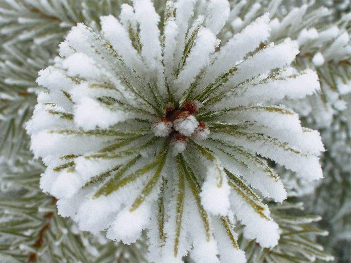 La beauté de l'hiver canadien à travers cette image sapin gelé.