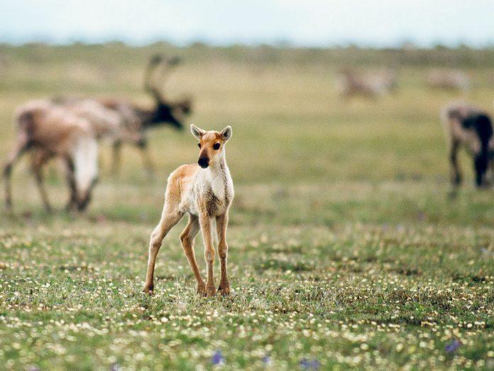 Menace sur les caribous de la Porcupine.