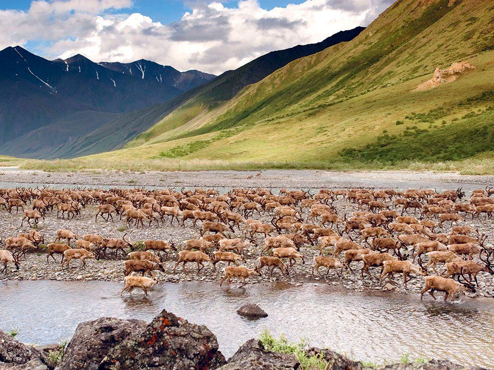 Menace sur les caribous en Alaska.