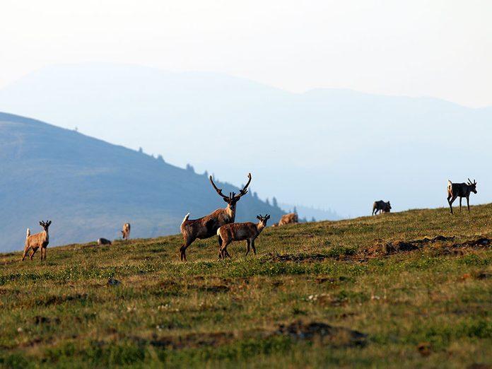 Menace sur les caribous de la réserve arctique, cette étendue sauvage.