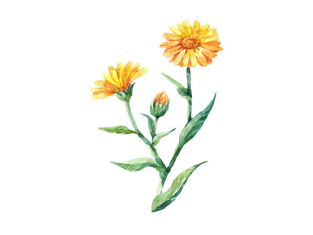 Le calendula est l'un des remèdes maison utilisés en Allemagne.