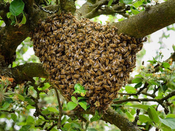 L'essaim d'abeilles est perché au sommet d'un arbuste.