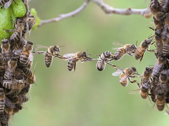 Les abeilles sont de vraies techniciennes.