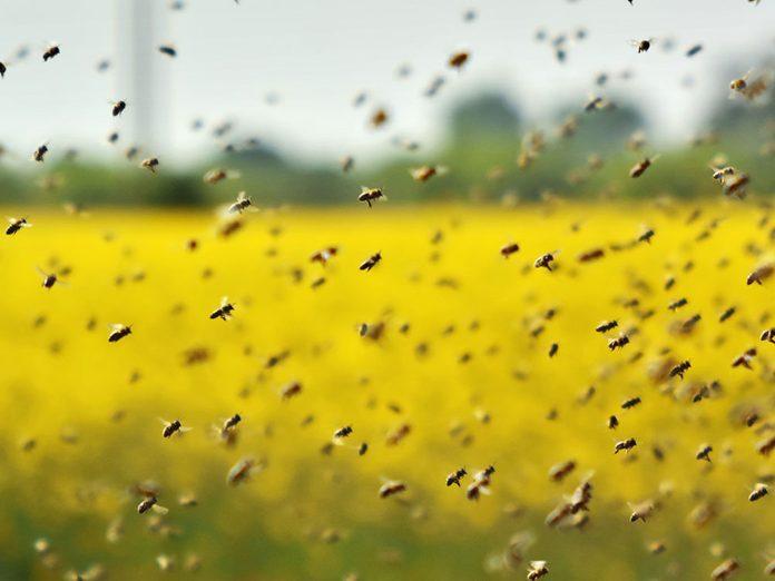 Les abeilles sont agitées.
