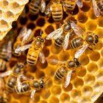 Ruches d'abeilles chez soi: un passe-temps qui a du piquant!