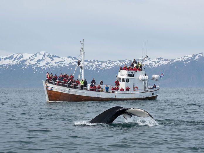 Bonnes nouvelles: la chasse à la baleine est-elle enfin terminée en Islande?