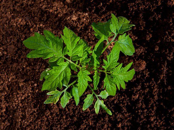 Cultiver les tomates directement dans le sol.