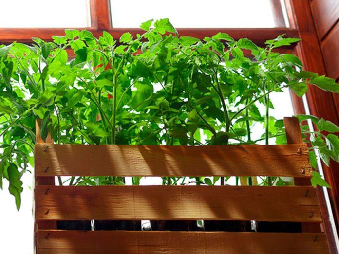 Cultiver les tomates dans une jardinière de fenêtre.