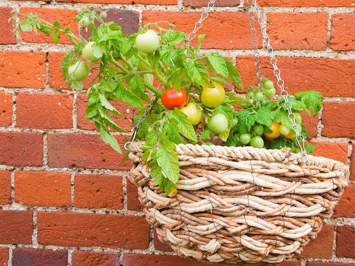Cultiver les tomates dans des paniers suspendus.