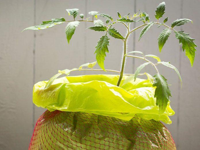 Cultiver les tomates dans des sacs de culture.