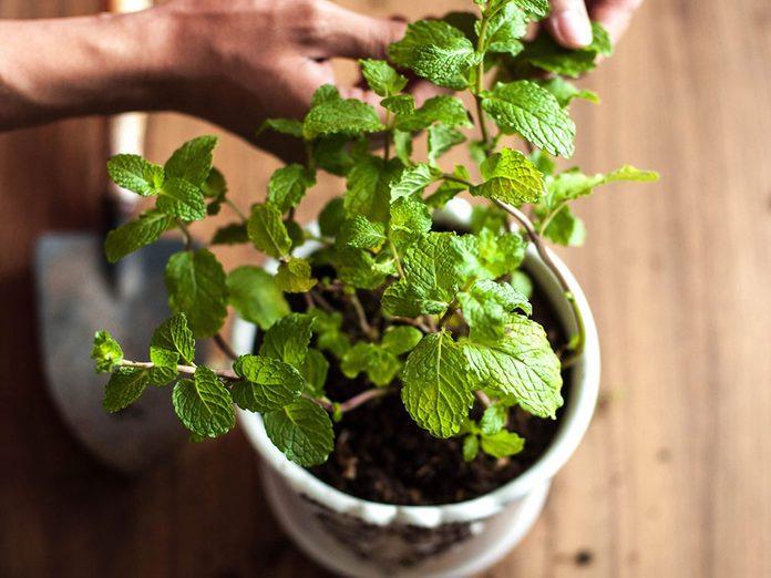 Optez pour des plantes qui repoussent les parasites dans la maison.