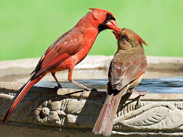 Les oiseaux femelles chantent-ils?