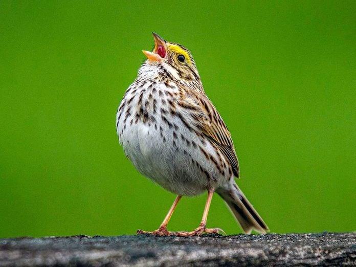 Pourquoi les oiseaux chantent-ils? Comment distinguer les chants, des appels?