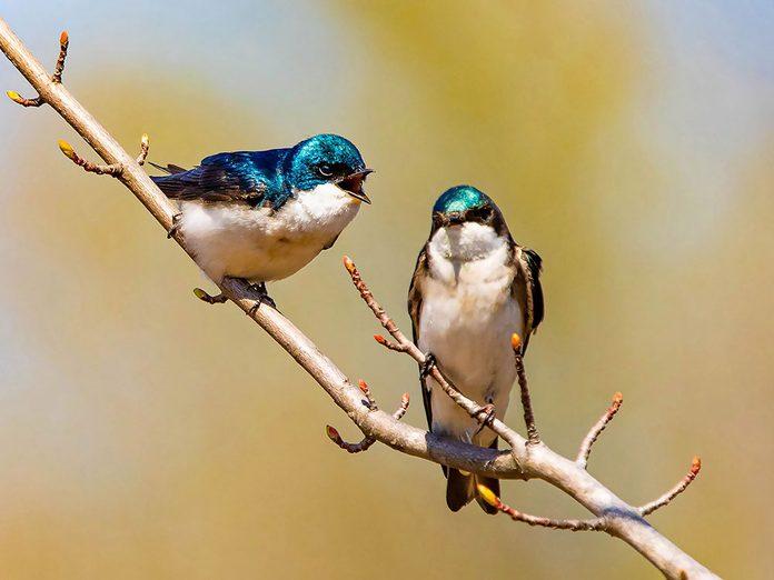 Pourquoi les oiseaux chantent au printemps?