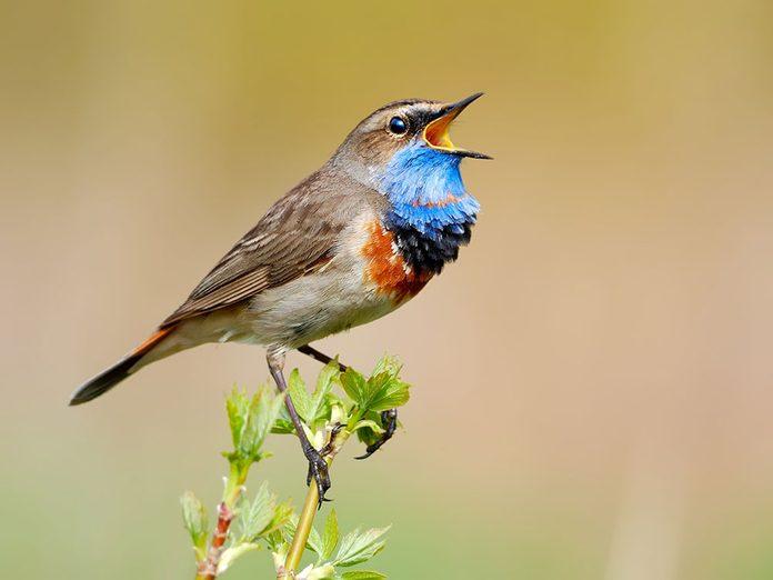 Comment les oiseaux chantent-ils?