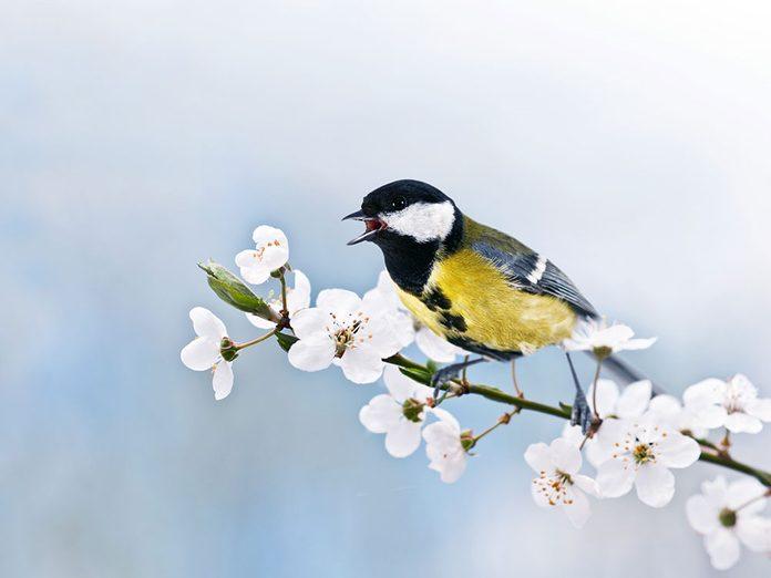 Pourquoi les oiseaux chantent avec une multitude de sonorités?