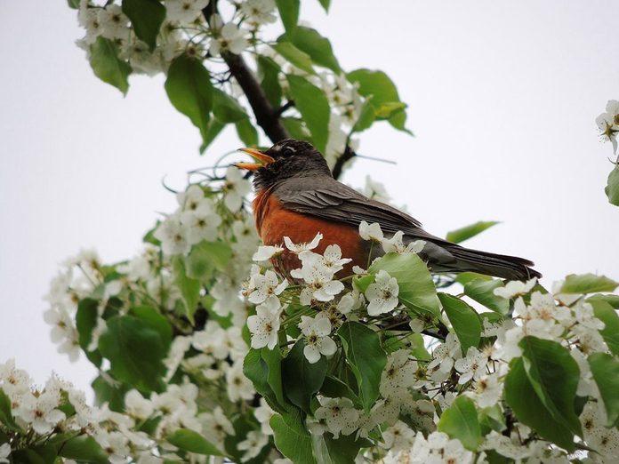 Quand les oiseaux chantent-ils?