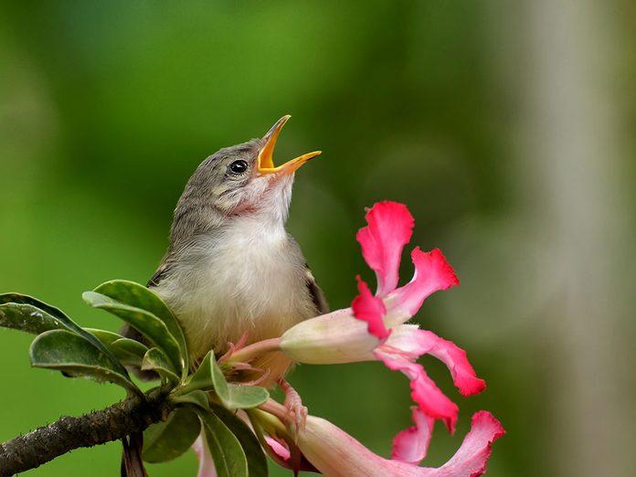 Pourquoi les oiseaux chantent-ils?