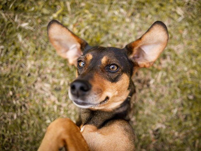Les bâtards font partie des races de chien de taille moyenne idéales pour la famille.